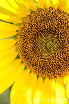 Sunflowers - X