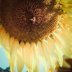 Sunflowers - VI