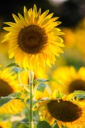 kch_sunflower02
