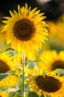 Sunflowers - IV