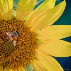 Sunflowers - VII