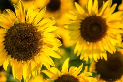 Sunflowers - II