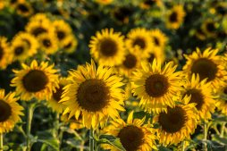 Sunflowers - III