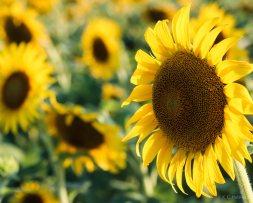 Sunflowers - I
