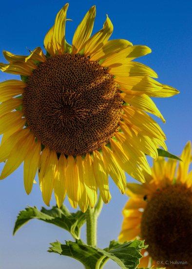 Sunflowers - V