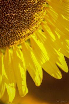 Sunflowers - VIII