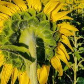 kch_sunflower09