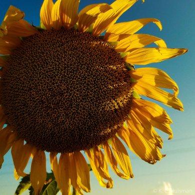 Sunflowers - IX