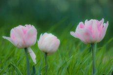 kch_tulips00