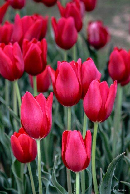 kch_tulips03