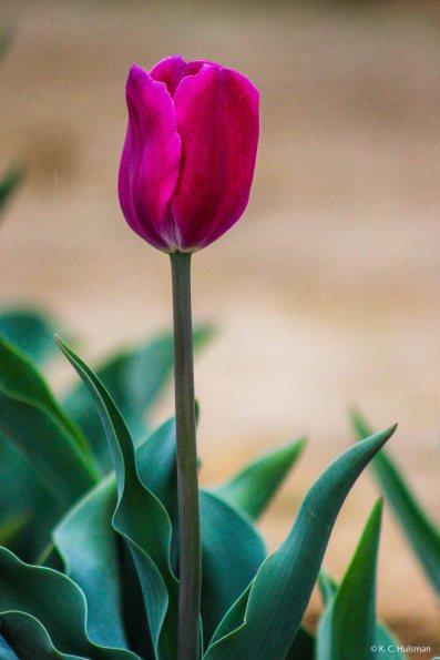 kch_tulips04