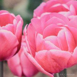 kch_tulips05