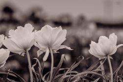 kch_tulips06