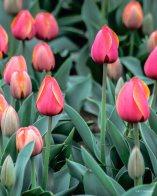 kch_tulips09