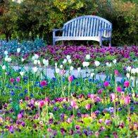 kch_tulips11