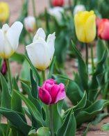 kch_tulips12