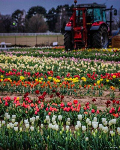 kch_tulips13
