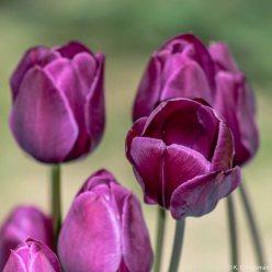 kch_tulips14