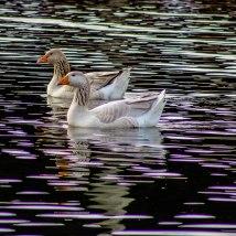 Quacked Up Pair