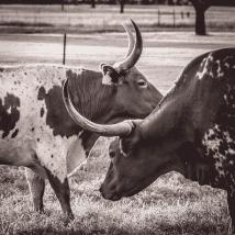 Texas Longhorns 3