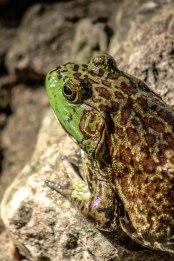 American Bullfrog 1