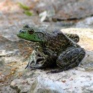 American Bullfrog 2