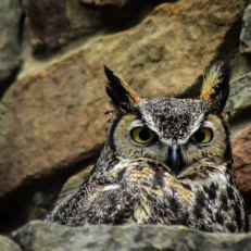 Owl by Myself (Great Horned Owl)
