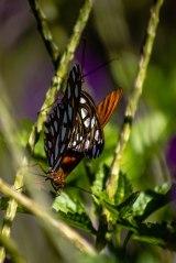 Gulf Fritillary Butterflies [Mating]