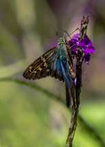 Long Tailed Skipper Butterfly