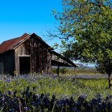 Bluebonnet Shed