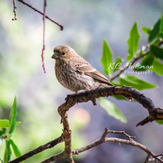 Pine Siskin taken in Fort Davis, Texas