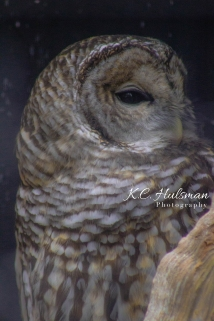 Owl See You (Barred Owl)
