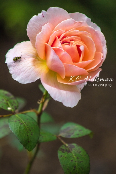 Rose, Boscobel Gardens in New York