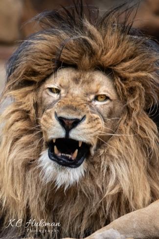 kchulsman_lion01